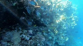 Snorkeling in Red Sea, a schhol of fishes near the coral reef, slow motion. A school of fishes near the coral reef in clear blue water. Deep underwater view stock footage