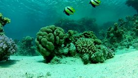 Snorkeling in the Red sea. Under water. Underwater life fish on the bottom. The corals and the caves. Corals. Fish and clear water. Tropical sea stock video