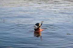 Snorkeling on river. Snorkeler searching for his thing lost on a river Royalty Free Stock Image