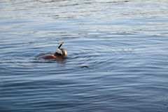 Snorkeling on river. Snorkeler searching for his thing lost on a river Royalty Free Stock Photography