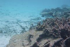 snorkeling Schitterende mening van onderwaterwereld Dode koraalriffen, overzees gras, wit zand en turkoois water Indische Oceaan royalty-vrije stock foto