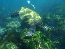 Snorkeling with sea turtles Stock Image