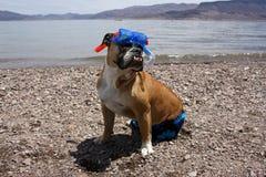 Snorkeling stående för engelsk bulldogg royaltyfria foton