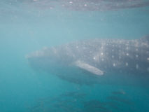 Snorkeling with a Whale shark in Mexico Stock Photos