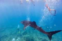 Snorkeling with a whale shark. Whale shark surrounded my snorkelers and divers in Indian ocean at Maldives stock image