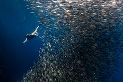 Snorkeling z szkołą sardynki zdjęcia royalty free