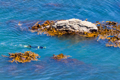 Snorkeller in ocean between rocks and bull kelp Stock Image