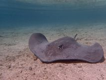 Close up of a stingray in French Polynesia royalty free stock photos