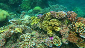 Snorkelling in a coral reef in coral sea at the Great Barrier Reef Queensland Australia stock video footage