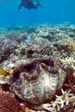 Snorkeling on Great Barrier Reef. Snorkeling on a great barrier reef with huge clam in foreground Royalty Free Stock Image