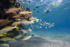 Snorkelling na água desobstruída cyrstal. fotografia de stock royalty free