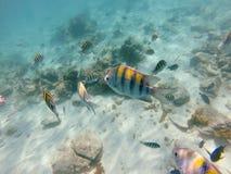 Snorkla i Aruba Royaltyfri Bild