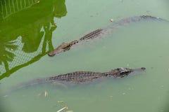 Snorkla-krokodil-Crocodylus siamensis Arkivbilder