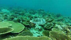 Snorkla med en havssköldpadda lager videofilmer