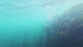 Snorkla undervattens- dykning med fisken och manet och alger i havet stock video