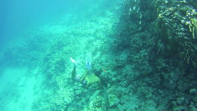 Snorkling near a Coral Reef in the Red Sea, Man Dives Under water. Beautiful Colorful Tropical Fish on Vibrant Coral Reefs Underwater in the Red Sea. Egypt stock video footage