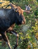 Snorting Bull Moose Prepares to Charge royalty free stock image