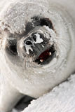 Snot-nosed seal Royalty Free Stock Photo