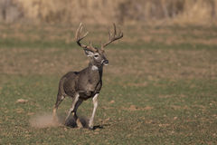 Snot. A whitetail buck with snot and slobber hanging out of mouth after chasing a female doe Stock Image