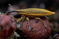 Snout κίτρινος ρυγχωτός κάνθαρος κανθάρων, iridis Lixus Στοκ εικόνα με δικαίωμα ελεύθερης χρήσης