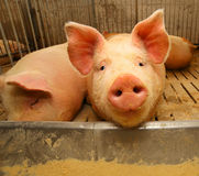 snout του χοίρου στο χοιροστάσιο στο αγρόκτημα Στοκ φωτογραφία με δικαίωμα ελεύθερης χρήσης