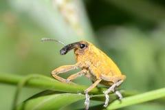 Snout Beetle. Macro Photo Of A Snout Beetle (Lixus Angustatus Stock Photos