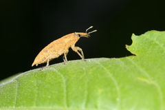 Snout beetle. A snout beetle landed on leaf stock photos