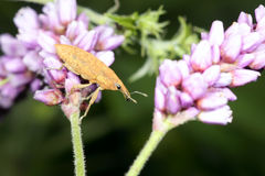 Snout beetle. A snout beetle landed on flowers Stock Images