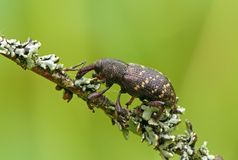 Snout-beetle. The large pine weevill on a licheny branch stock images