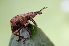 Snout beetle. Although is a pest, but gentle appearance quite like Stock Image