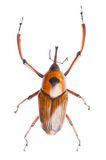 Snout beetle. The snout beetle isolated on a white background stock images