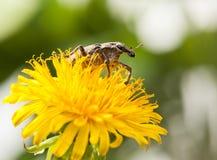 Snout beetle on blossom dandelion Stock Images
