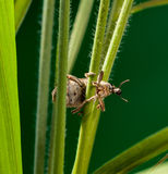 Snout beetle on cereal grass Stock Photos