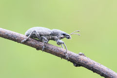 Snout beetle Stock Photo