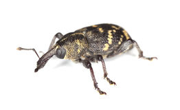 Snout beetle (Hylobius abietis) Royalty Free Stock Image