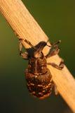 Snout beetle Hylobius abietis. Close-up of snout beetle Hylobius abietis royalty free stock images