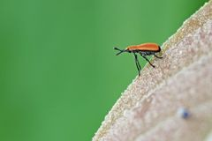 Snout beetle on the leaf Stock Images