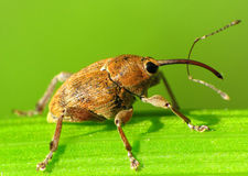 Snout beetle with a very long snout. Stock Photo
