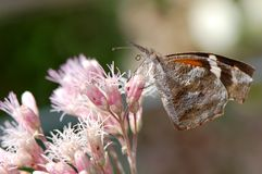 Snout Butterfly Royalty Free Stock Images