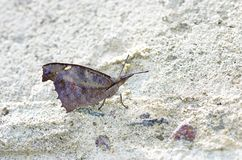 Snout butterfly on the floor Royalty Free Stock Photo
