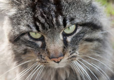 Snout of cat Stock Photography