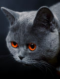 Snout  of cat with dark yellow eyes Royalty Free Stock Photography