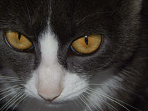 Snout of cat with yellow eyes closeup Royalty Free Stock Photo