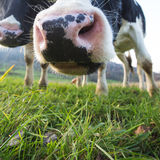 Snout of cow on grass Royalty Free Stock Images