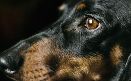 Snout of dachshund dog Royalty Free Stock Photos