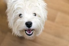 Snout of a dog with white coat, West highland white Terrier. Puppy royalty free stock images