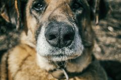 Snout dog without breed close up. Snout domestic dog without breed close up Royalty Free Stock Photo