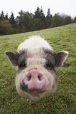 Snout of domesticated pig. Domesticated pig on grassy farmland putting the snout into the camera Royalty Free Stock Photography