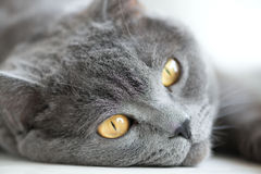 Snout of gray british cat closeup, selective focus Stock Images