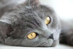 Snout of gray british cat closeup, selective focus. Snout of gray british cat closeup Stock Images